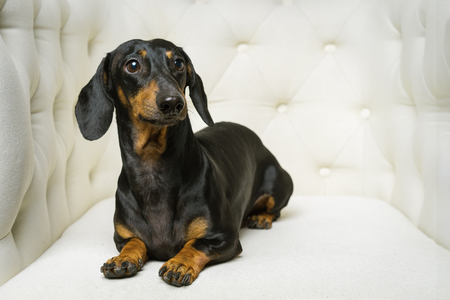 dog  Dachshund breed, black and tan, lies in a white armchair and looking away Stock Photo - 118982618