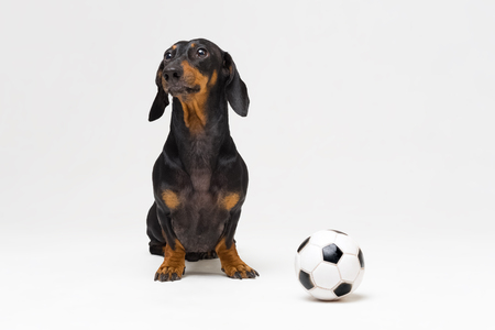 portrait dog of breed of dachshund, black and tan, with a white soccer ball isolated on gray background Stock Photo