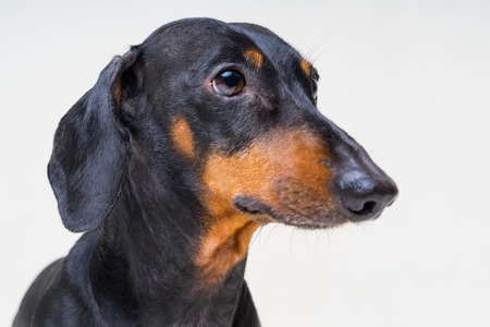 Portrait a dog (puppy) of the dachshund  breed, black and tan on gray background. Not isolated