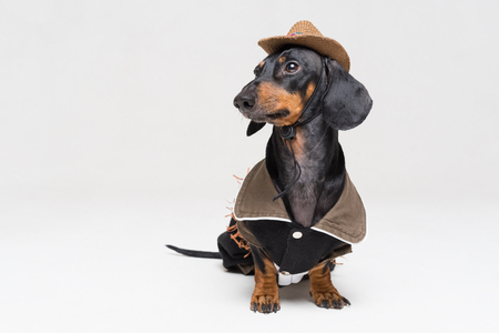 Cute dachshund dog with cowboy costume and wearing western hat isolated on gray background.