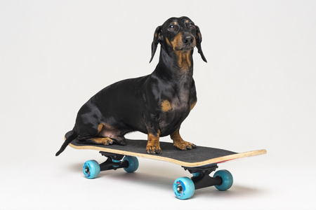 dog breed Dachshund, black and tan, sits on skateboard isolated on gray background. Skateboarding dog. 免版税图像