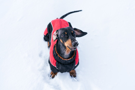 top view of the dog, dachshund, black and tan, in red clothes (sweater),  plays on the snow