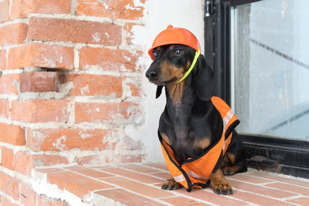 dog builder dachshund in an orange construction helmet and a vest, against a red brick wall and a dirty window