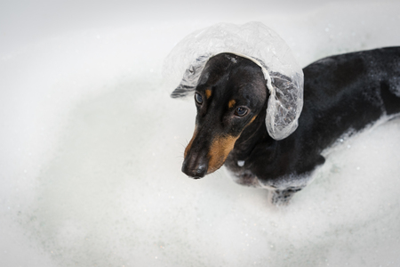 Bathing of the dog dachshund, black and tan. Happiness dog taking a bubble bath.