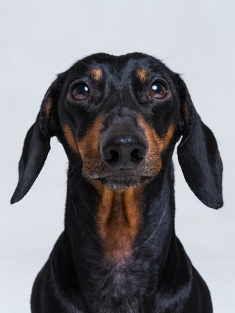 vertical сlose up portrait of Dachshund, black and tan,  on  gray background Stock Photo