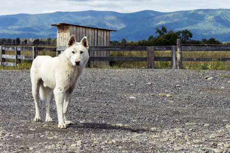 An old white beaten dog (wolf) stands on a dirt road against a background of a wooden fence and mountains