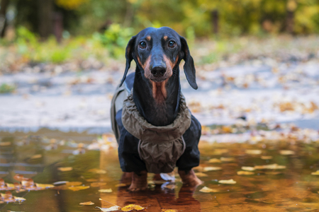 portrait cute dog Dachshund breed, black and tan, dressed in a raincoat standing in a puddle, cool autumn weather Stock Photo