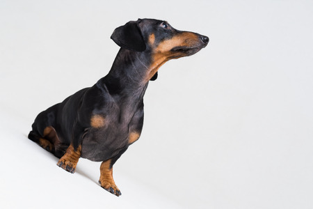 dog puppy dachshund, black and tan, looking up, isolated on gray background Stock Photo