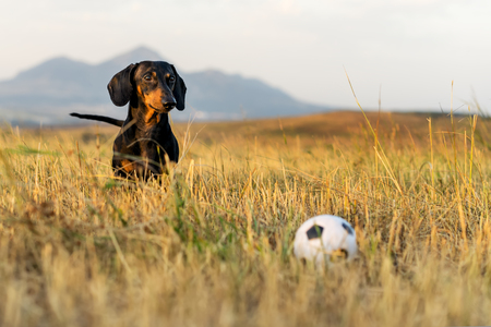 dog (puppy), breed dachshund black tan, looks at his ball while waiting for the game on a autumn grass and mountains