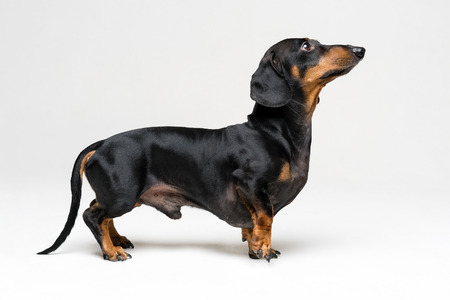 A manipulated image of a very short Dachshund dog (puppy), black and tan on isolated on gray background