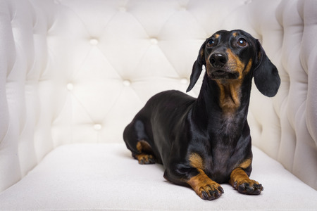 cute dog  Dachshund breed, black and tan, lies in a white armchair and looking away