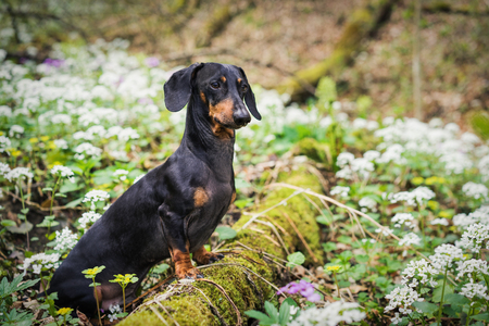 beautiful dog of the dachshund breed, black and tan, standing on a tree in a forest in a meadow of white spring flowers