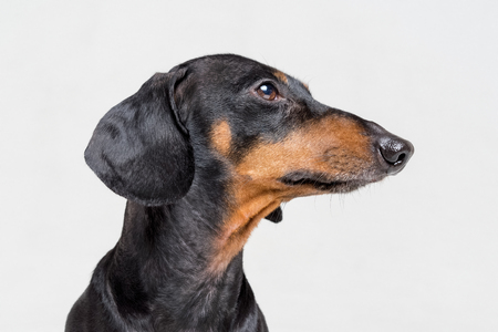 Portrait profile of an adorable dog (puppy) of the dachshund  breed, black and tan, on isolated on gray  background