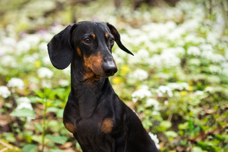 portrait of a beautiful dog breed of dachshund, black and tan, against a background of white flowers for a walk in the forest