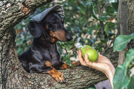 portrait of a dog (puppy) in a cap, breed dachshund black tan, in a vegetable garden looks at a hand with pears. Harvesting Stock Photo