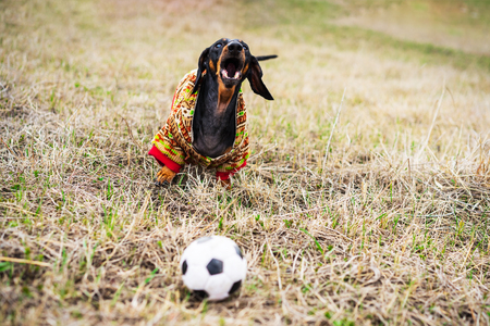 dog of the dachshund breed, black and tan, dressed in a sweater playing with a soccer (football) ball on a meadow