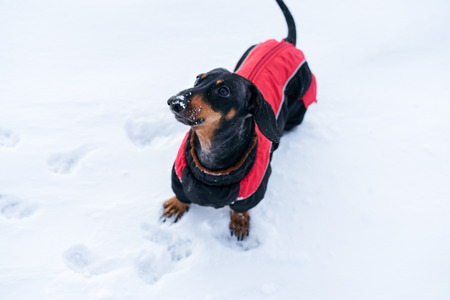 top view of the dog, dachshund, black and tan, in red clothes (sweater), which stands in a snowdrift and wags its tail Stock Photo