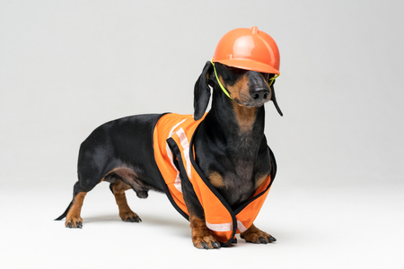 Dog builder dachshund in an orange construction helmet  at gray background Stock Photo
