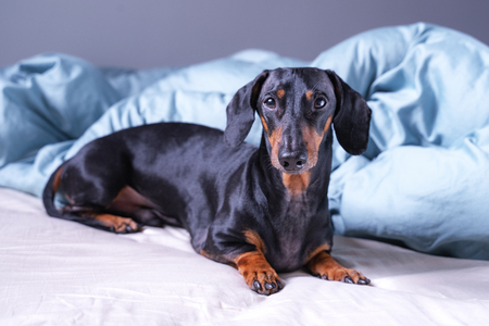 cute little dachshund dog, black and tan, lying on bed. Pets friendly  hotel or home room. Stock Photo