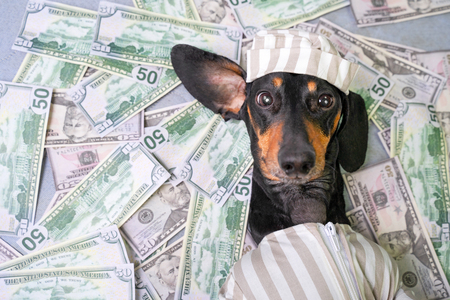 top view of a happy dog breed dachshund, black and tan, lies on a pile of counterfeit money dollars in a criminal costume Standard-Bild - 119990393