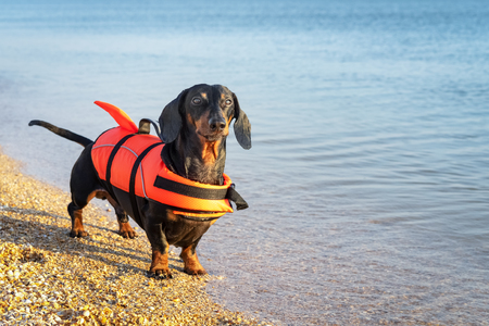 Dachshund breed dog, black and tan,  wearing orange life jacket while standing on beach at sea against the blue sky Stock Photo