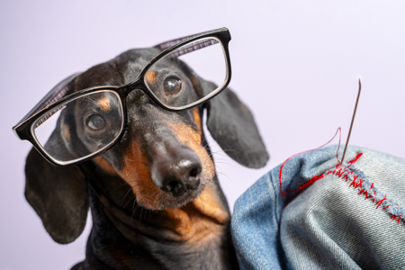Adorable dog breed of dachshund, black and tan, in the glasses, darn jeans with red threads with a big needle. Funny ad for your business