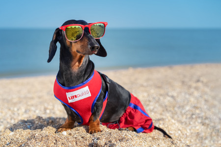 cute dog Dachshund breed, black and tan, in a red blue vest Life Guarde and red sunglasses, sits on a sandy beach against the sea