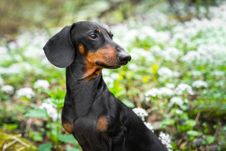 Cute dog breed dachshund, black and tan, in green forest against white spring flowers Stock Photo