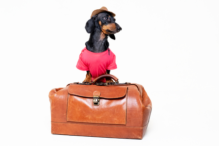 Dachshund breed dog, black and tan, in a cowboy hat and pink t-shirt standing on a vintage suitcase for travel on vacation, isolated on gray background