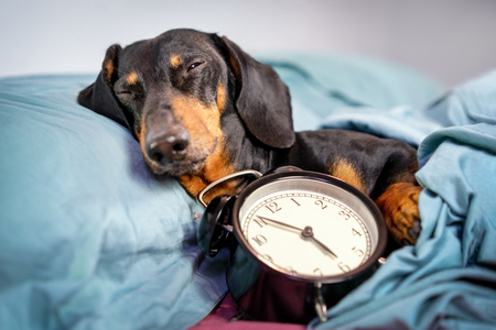 Black and tan dog breed dachshund sleep in bed with  alarm clock. Live with schedule, time to wake up.