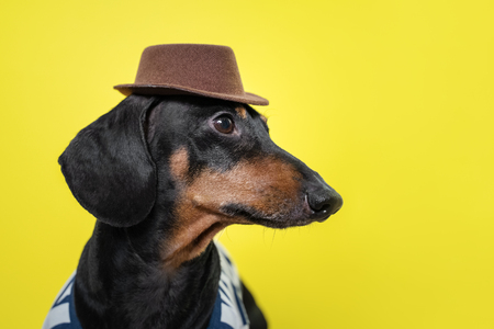 Portrait of cute dachshund dog, black and tan,   holding brown hat on head on  bright yellow background. Beach style. Stock Photo