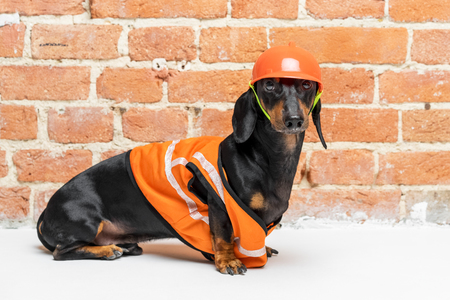 Dachshund dog, black and tan, sits on the background of a dirty  brick wall, in an orange construction vest and helmet, during a building renovation.  copy space for text Stock Photo
