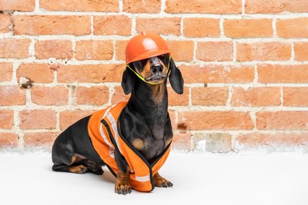 Dachshund dog, black and tan, sits on the background of a dirty  brick wall, in an orange construction vest and helmet closing eyes, during a building renovation. copy space for text