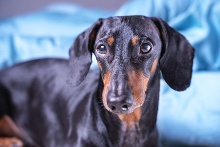 close up of cute little dachshund dog, black and tan, lying on bed