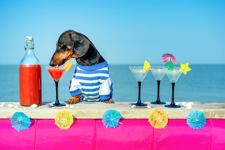 funny cool dachshund dog drinking cocktails at the bar in a  beach club party with ocean view