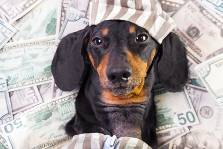 top view of a happy dog ​​breed dachshund, black and tan, lies on a pile of counterfeit money dollars in a criminal costume