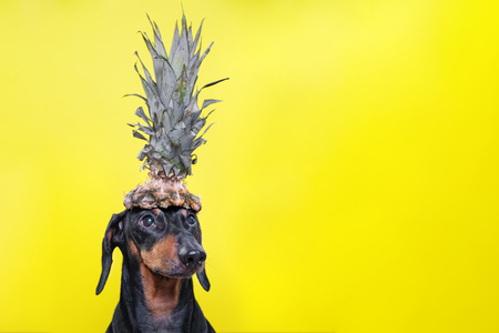 Portrait of cute dachshund dog, black and tan,   holding pineapple on head on  bright yellow background. Beach style. long format banner. copy spase