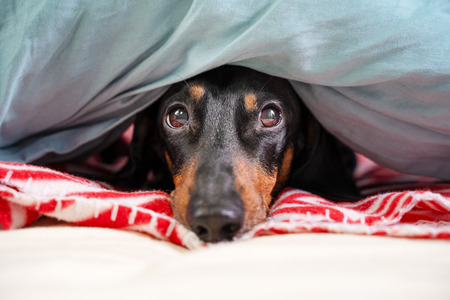 cute dachshund, black and tan, is hid on a bed under a  blanket.