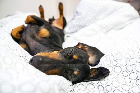 Dog Dachshund breeds, black and tan, is lying on back on the bed. Pets friendly  hotel or home room. Stock Photo