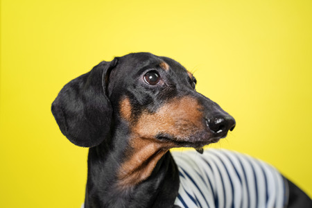 Amazing portrait dachshund dog, black and tan,on yellow background. Cute pet face