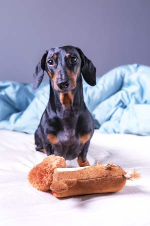 Dachshund dog, black and tan, playing with a toy in bed Stock Photo