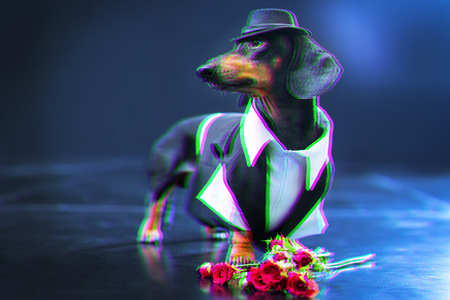 Portrait of a dachshund dog, black and tan, dressed in an elegant suit and white shirt, hat, dancer performing, with strong backlight on the stage of a theater, gets flowers from fans. Digital signal  glitch effect (rgb shift, slices). Screen error