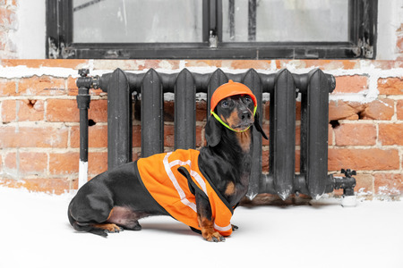 Dachshund dog, black and tan, sits on the background of a dirty window and a brick wall and heater, in an orange construction vest and helmet during a building renovation