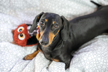 Dog dachshund  is lying in the bed and playing with toy Stock Photo