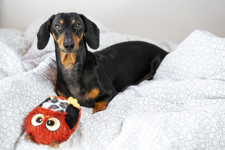 Playful dachshund dog, black and tan, playing with a toy in bed Stock Photo