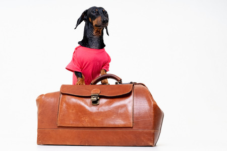 Dachshund breed dog, black and tan, in a  pink t-shirt standing on a vintage suitcase for travel on vacation, isolated on gray background Standard-Bild - 121044412