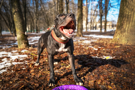 funny American pit bull  terrier dog reaching to the toy puller toy for a walk in the park