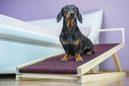 A dachshund dog, black and tan, sits on a home ramp. Safe of back health in a small dog. Standard-Bild - 121046479