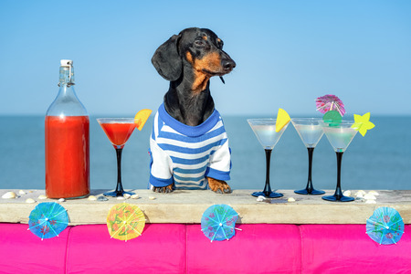 Divertido perro dachshund fresco bebiendo cócteles, en el bar de una fiesta en un club de playa con vista al mar
