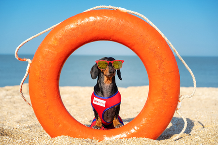 A dog Dachshund breed, black and tan, in a red blue suit of a lifeguard and red sunglasses, sits on orange lifebuoy,  a sandy beach against the sea